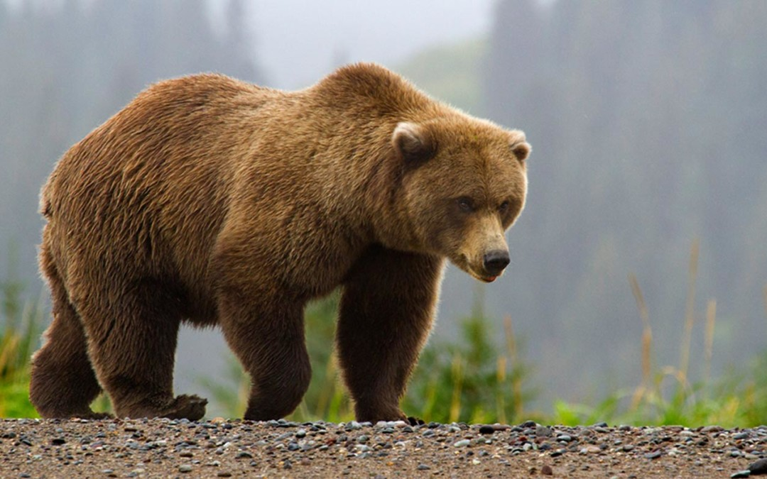 Brown Bears & Lake Clark National Park