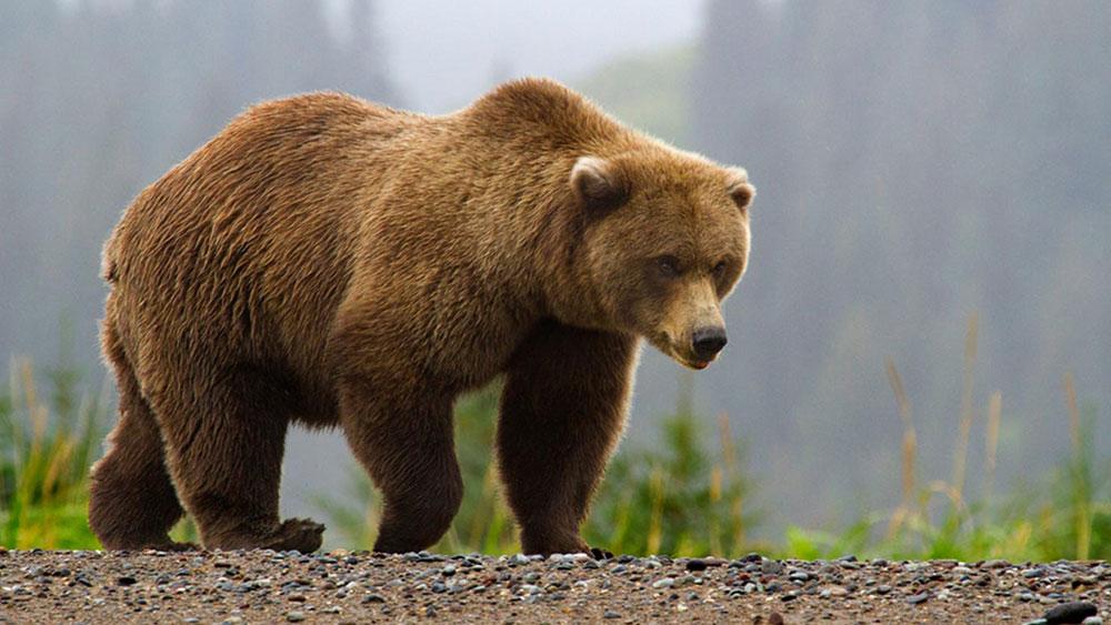 brown bear essays